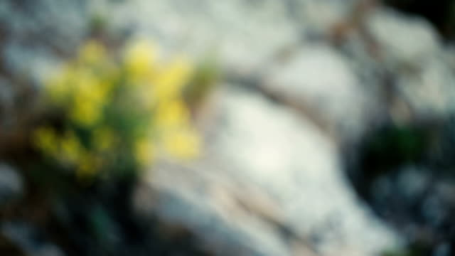 Yellow flowers grow on rocks on mountain in spring video
