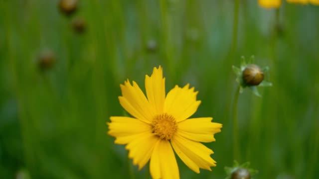 yellow flowers in garden. - coreopsis lanceolata video stock e b–roll