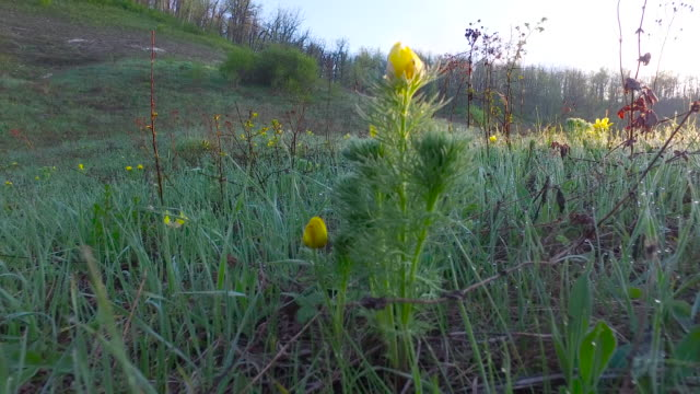 Yellow flowers in the rays of dawn. Meadow with green grass. video
