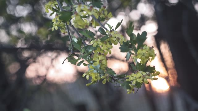 Yellow flowers of black currant, Ribes nigrum, branch sways in the wind. Spring season