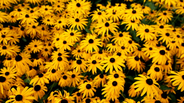 yellow flowers of black-eyed susan in the garden - нивяник стоковые видео и кадры b-roll