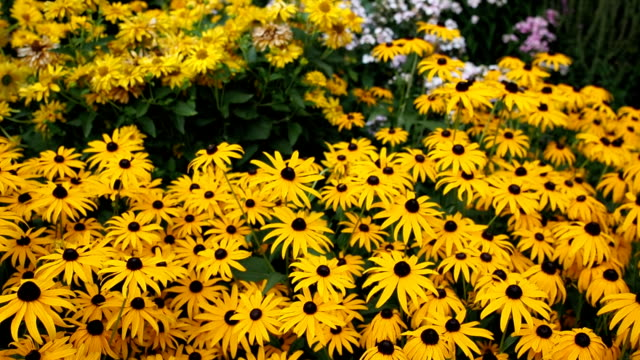 Yellow flowers of Black-eyed Susan in the garden