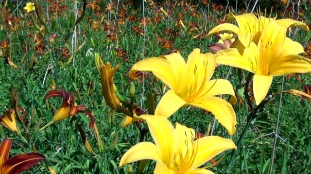 Yellow Flowers of Hemerocallis lilioasphodelus. Lily Garden in summer.