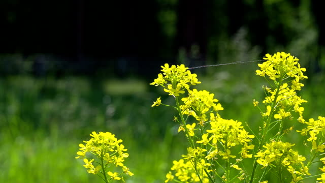 Yellow flowers of the field.