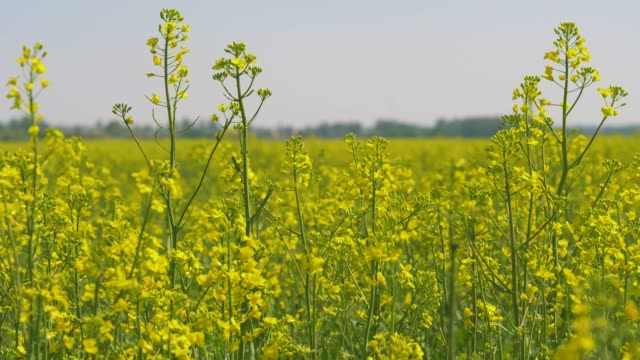 yellow flowers on the blooming field of rapeseed or canola - canola video stock e b–roll