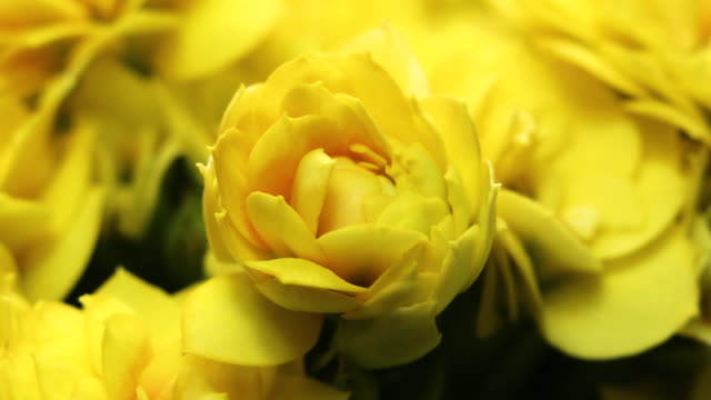 Yellow Flowers Opening. Spring Beautiful timelapse, extreme close up. Blooming backdrop on black 4K video