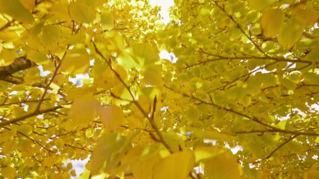 Yellow foliage on trees. Backgro nd sky. Yellow foliage. motion steady into trees ginkgo stock videos & royalty-free footage