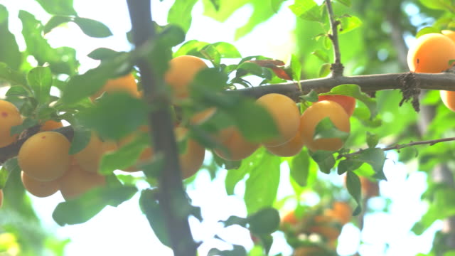 Yellow fruits on branch.