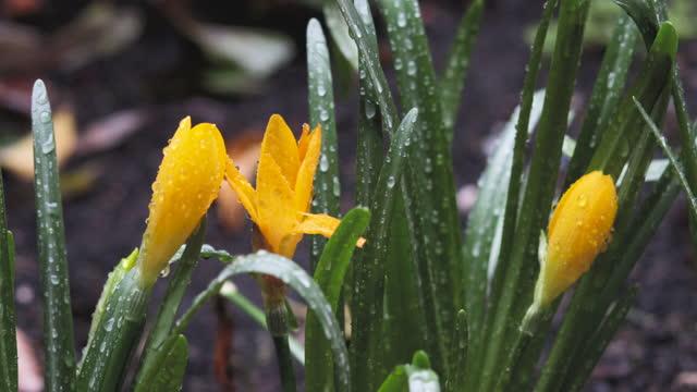 vidéos et rushes de crocus jaune de neige de jardin ou crocus doré (crocus chrysanthus) fleurs sur la pluie gros planent sélectivement - crocus