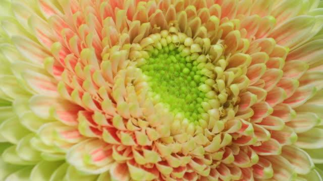 Yellow Gerbera flower blooming 4K video