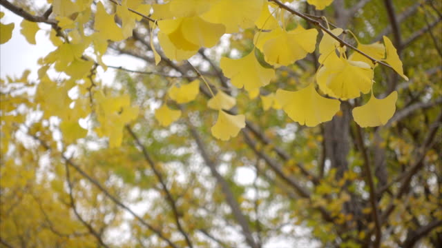 yellow gingko leaves branch garden yellow gingko leaves branch garden in autumn season ginkgo tree stock videos & royalty-free footage