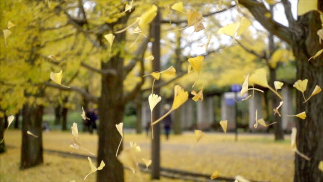 yellow gingko leaves falling together in the garden yellow gingko leaves falling together in the garden, slow motion shot ginkgo tree stock videos & royalty-free footage