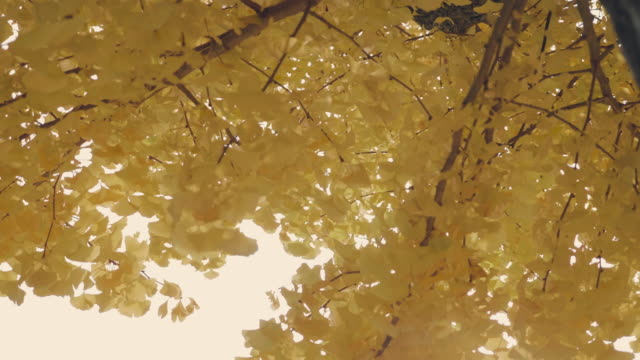 Yellow ginkgo leaves in autumn Autumn yellow ginkgo tree in Japan. ginkgo tree stock videos & royalty-free footage