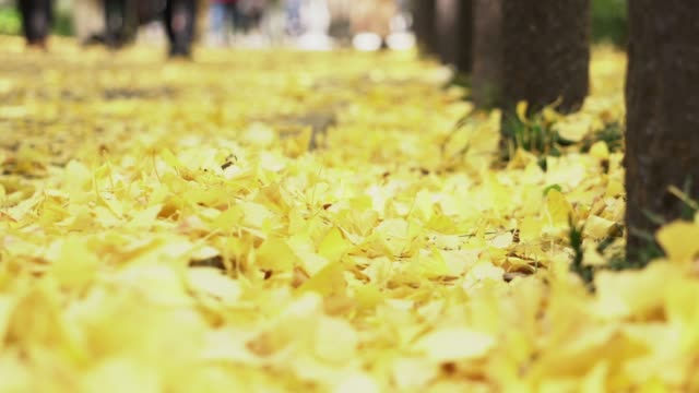 Yellow Ginkgo leaves on the street Yellow Ginkgo leaves on the street in the park during autumn season in Japan ginkgo tree stock videos & royalty-free footage