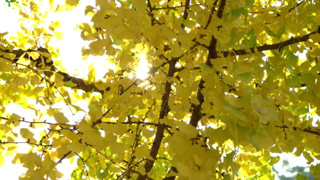Yellow Ginkgo Leaves Yellow Ginkgo Leaves ginkgo stock videos & royalty-free footage