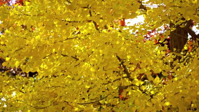 日本的黃銀杏樹和樹葉 - 銀杏樹 個影片檔及 b 捲影像