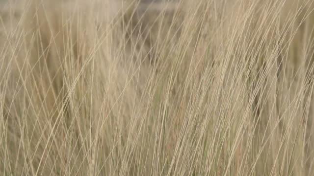 vidéos et rushes de herbe jaune agitant avec le vent soufflant. enregistrement portatif et profondeur de champ peu profonde - foin
