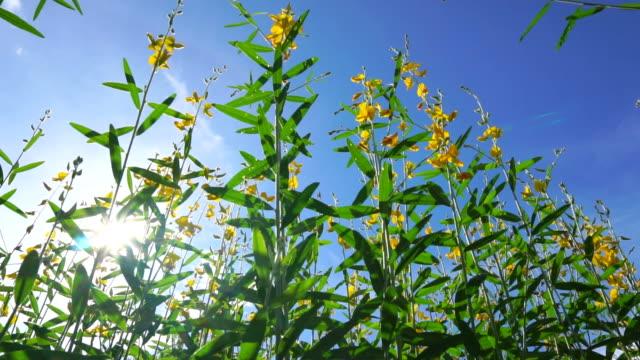 Yellow hemp flowers field at sunny day. - vídeo