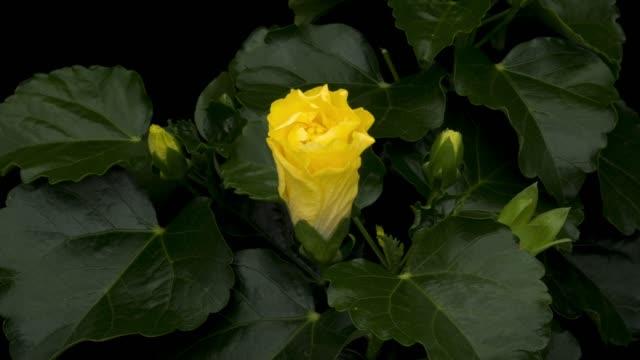 stockvideo's en b-roll-footage met gele hibiscus bloeiende time-lapse - fresh start yellow
