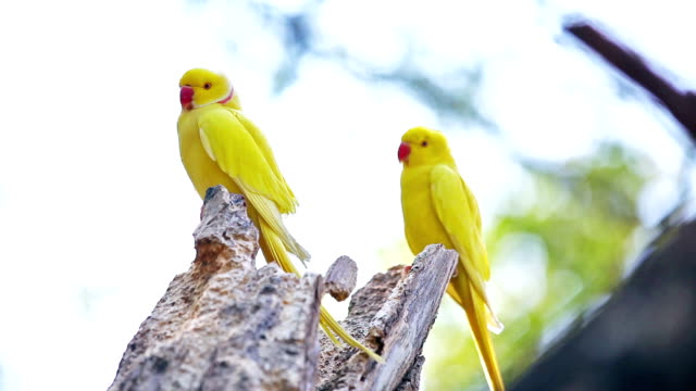 Yellow Indian Ringneck Parrot