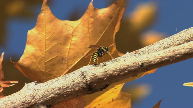 Yellow Jacket on branch Closeup of a yellow jacket crawling on branch. 笹 stock videos & royalty-free footage