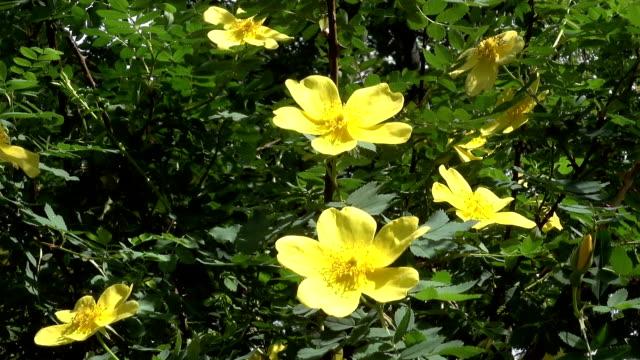 Yellow jasmine flowers in spring video