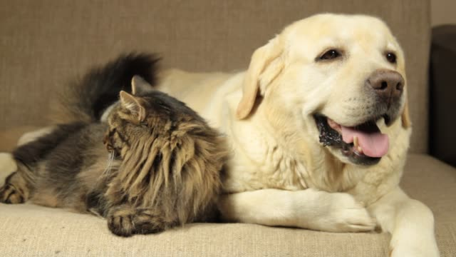 Yellow Labrador dog and tabby cat