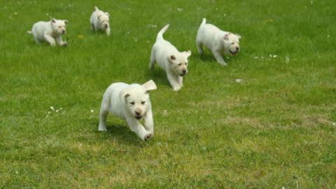 vídeos y material grabado en eventos de stock de yellow labrador retriever, grupo de cachorros corriendo en el césped, normandía en francia, slow motion 4k - un animal