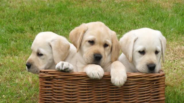 イエローラブラドールレトリバー、バスケットで遊ぶ子犬、フランスのノルマンディー、スローモーション4k - 籠点の映像素材/bロール