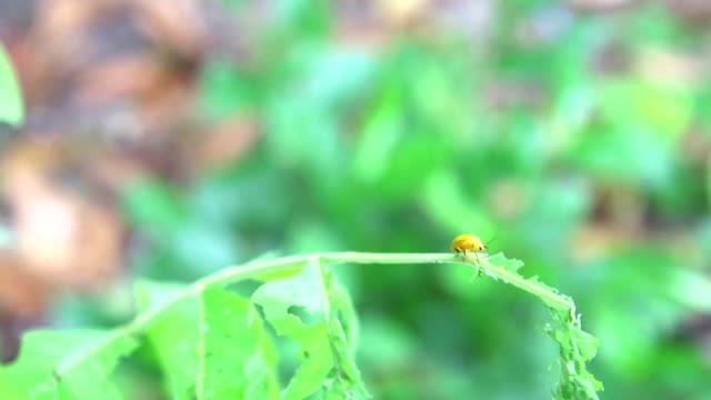 yellow ladybug eat young green leaves is problem of insect