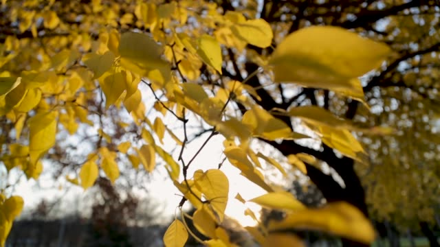 Yellow leafs in the wind