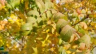 istock Yellow leaves of a mountain ash wave on wind 1133807716