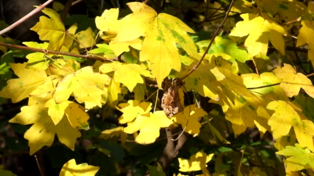 Yellow leaves of field maple rustle in the wind and the last hoverfly flies flying from leaf to leaf (Acer campestre) video