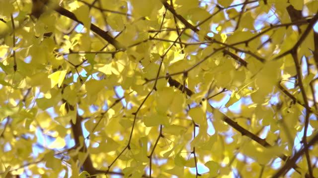銀杏的黃葉 - 銀杏樹 個影片檔及 b 捲影像