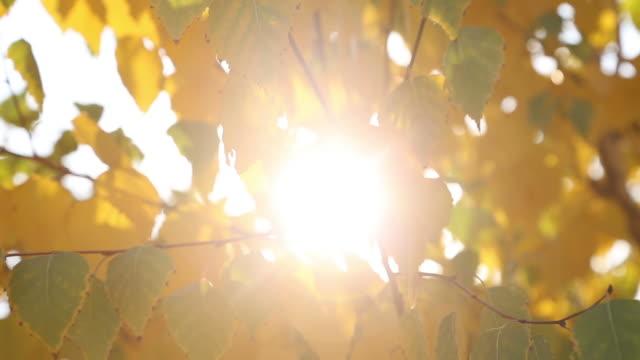 黃色的葉子, 明亮的太陽閃耀著光芒 - 亞洲中部 個影片檔及 b 捲影像