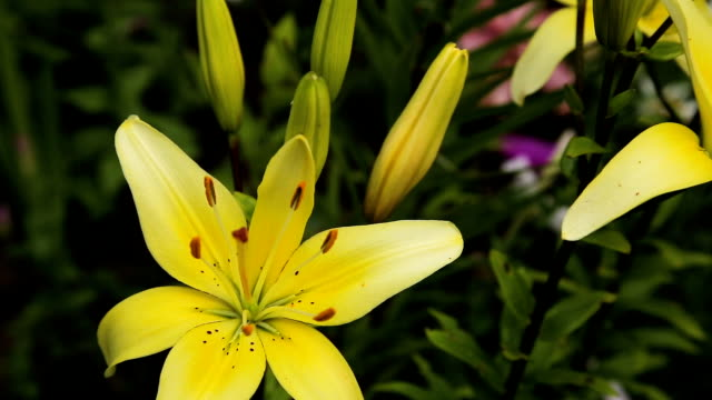 Yellow lilies, close up