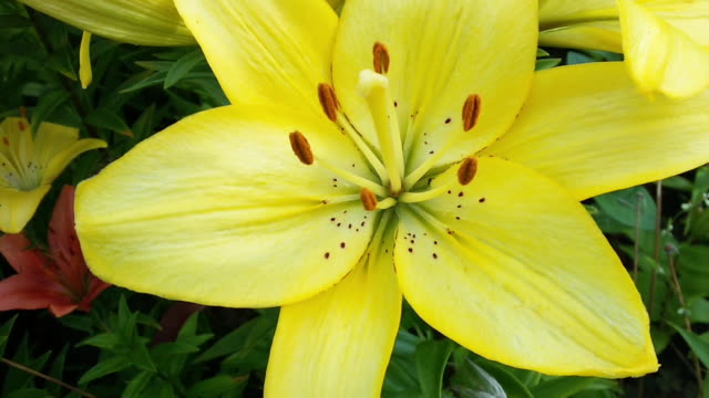 Yellow lily flower extreme close up in high quality FullHD footage