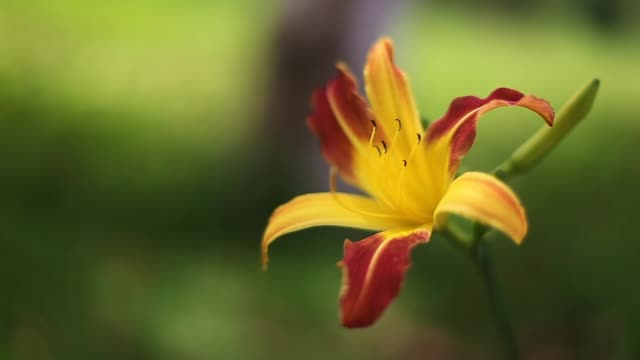 Yellow lily in the garden with red petals and a green background
