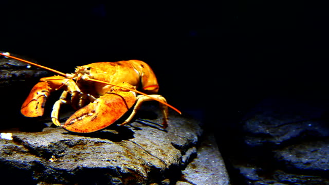 Yellow lobster moves underwater in a rocky setting video