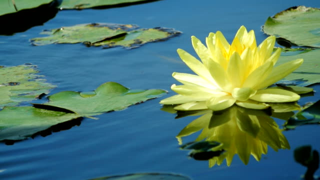 Yellow Lotus flower in pond video