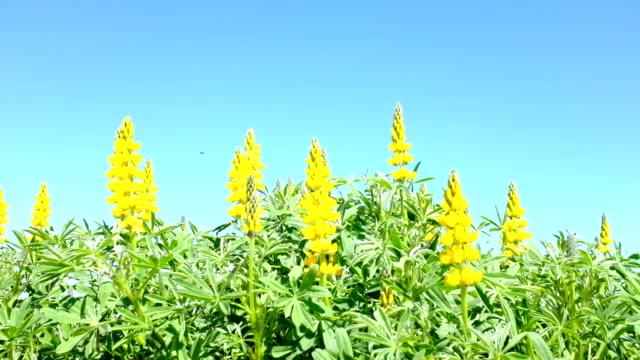 gelbe lupine in den feldern - lupine stock-videos und b-roll-filmmaterial