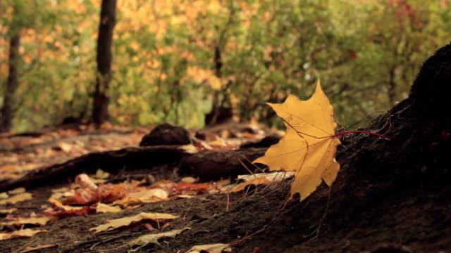 gelbe ahorn blätter im wind - ahorn stock-videos und b-roll-filmmaterial