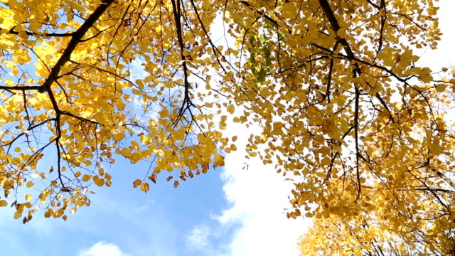 Yellow maple leaves in forest ,autumn season video