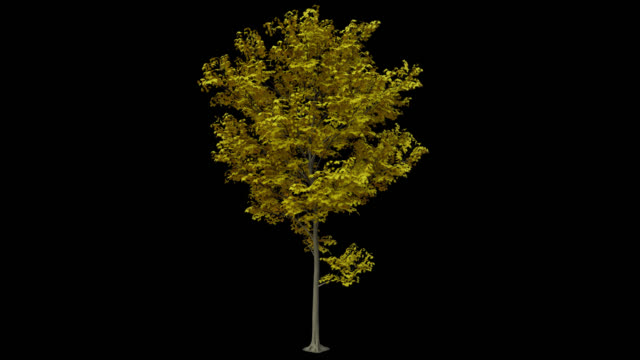 Yellow Maple Tree Tree in the wind. 30p. Loopable. Alpha channel will be included when downloading the 4K Apple ProRes 4444 file only. bush stock videos & royalty-free footage