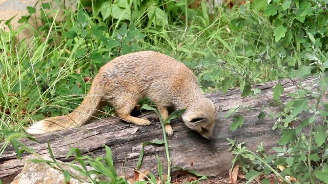 gul mangust - däggdjur bildbanksvideor och videomaterial från bakom kulisserna