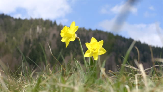 Yellow Narcissus Flowers blown in the wind on the hill background video