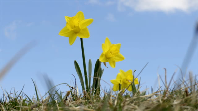 Yellow Narcissus Flowers blown in the wind on the sky background video