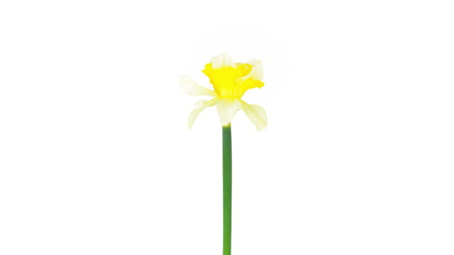 Yellow Narcissus; Time Lapse