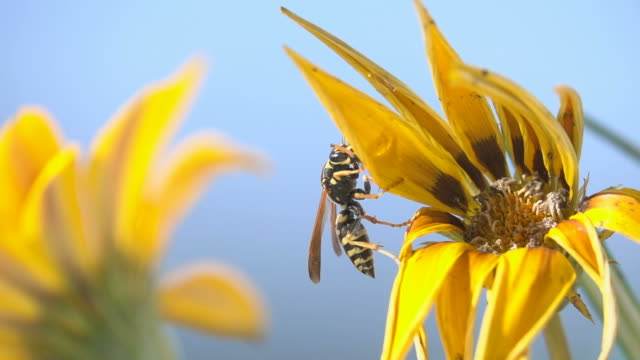 gelb natur fliegen insekten blauen himmel - wespe stock-videos und b-roll-filmmaterial