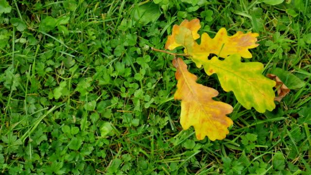 Yellow oak leaf. video